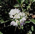 Allium sp. (roseum^) - Flickr - gailhampshire.jpg