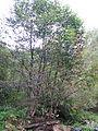 Alnetum Bistarska reka 2.JPG