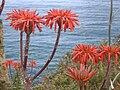 Aloe saponaria.JPG