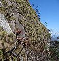 Aloe sp. Ribaue as cliff dweller (10201057043).jpg
