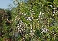 Aloysia citrodora kz01.jpg