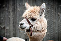 Alpaca in Drummondville.jpg