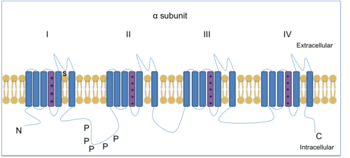 Alpha subunit shown with four homologous domains each with six transmembrane spanning regions. The N-terminal and C-terminal are intracellular. Phosphorylation sites are shown for protein kinase A