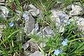 Alpine flora - a forget-me-not (Gru) (37169297654).jpg