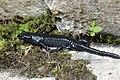 Alpine salamander - Salamandra atra (30745749638).jpg