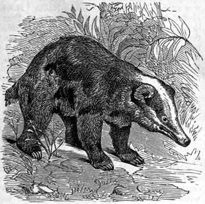 AmCyc Badger - Meles collaris.jpg