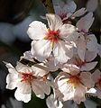 Amandiers en fleurs (2241660636).jpg