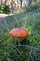 Amanita muscaria auf Usedom.jpg