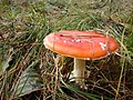 Amanita muscaria found on Sobieszewo Island in northern Poland October 2009 photo 5.jpg