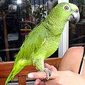 Amazon.parrot.arp.jpg