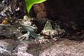 Amazon Milk Frog (Trachycephalus resinifictrix), CMN.jpg