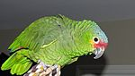 Amazona autumnalis -pet -side-8c.jpg