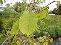 Amelancheir alnifolia - Saskatoon serviceberry - Flickr - Matt Lavin (2).jpg