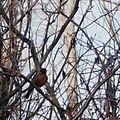 American Robin (Turdus migratorius).JPG