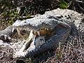 American crocodile, J N Ding Darling National Wildlife Refuge, USFWS 9679.jpg