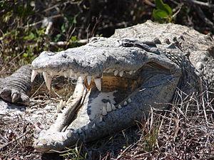Darién National Park - American crocodile (Crocodylus acutus)