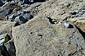 Ammonite casts on limestone. - geograph.org.uk - 981201.jpg