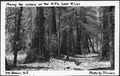 Among The Cedars on The North Fork Sauk River, Mount Baker National Forest, 1936. - NARA - 299081.tif