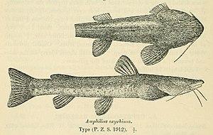 Loach catfish - Amphilius grandis