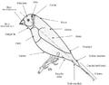 Anatomia Diamante Gould-Erythrura Gouldiae.png