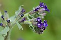 Anchusa officinalis (7231705452).jpg