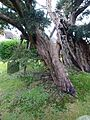 Ancient yew Rotherfield TP13.jpg