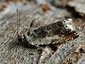 Ancylis laetana - Серпокрылая листовёртка осиновая (26386637157).jpg