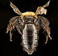 Andrena anograe f.jpg