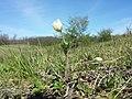 Anemone sylvestris sl40.jpg