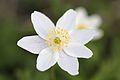 Anemones - kvitveis - hvitveis - 1.JPG