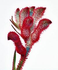 Anigozanthos flavidus close-up