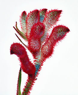 Anigozanthos flavidus close-up.jpg