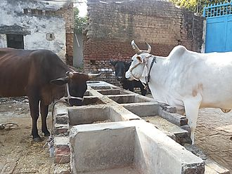 Domestication of animals - Domesticated dairy cows in North India