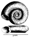 Anisus natalensis shell.png