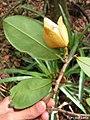 Annona salzmannii, araticum - Flickr - Tarciso Leão (10).jpg