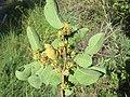 Anogeissus latifolia at Masinagudi (9).jpg