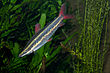 Anostomus anostomus, striped headstander.jpg
