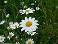 Anthemis cotula inflorescence (01).jpg