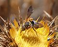 Anthidium species - Flickr - gailhampshire (2).jpg