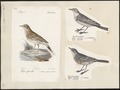 Anthus spinoletta - 1700-1880 - Print - Iconographia Zoologica - Special Collections University of Amsterdam - UBA01 IZ16300185.tif