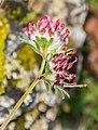 Anthyllis vulneraria ssp. rubriflora in Lozere (3).jpg