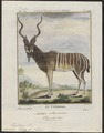 Antilope kudu - 1700-1880 - Print - Iconographia Zoologica - Special Collections University of Amsterdam - UBA01 IZ21400157.tif