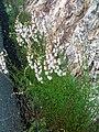 Antirrhinum graniticum Habitat 2009April26 SierraMadrona.jpg