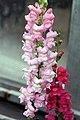 Antirrhinum majus Maryland Yosemite Pink 0zz.jpg