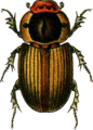 Aphodius sordidus Jacobson.png