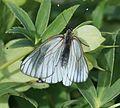 Aporia crataegi (Black-veined white) - Flickr - S. Rae.jpg