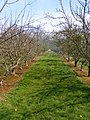 Apple Orchard north of Burghill - geograph.org.uk - 794410.jpg
