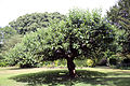 Apple tree Gibberd Garden Essex England.JPG