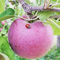 Apple with Ladybug.JPG