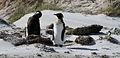 Aptenodytes patagonicus -East Falkland-8b.jpg